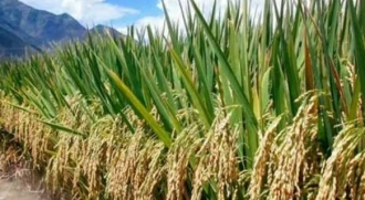 pirinç nasıl toplanır